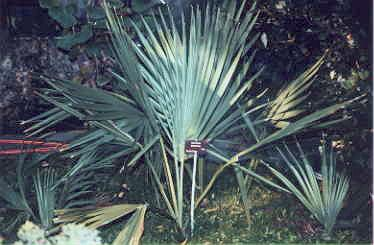 Sabal minor at ELTE Botanical Garden