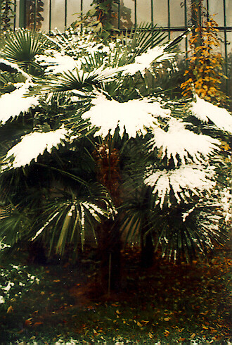 Trachycarpus fortunei at ELTE Botanical Garden