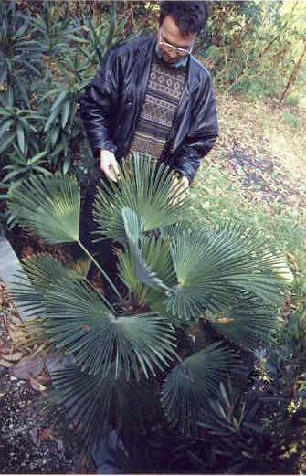 Trachycarpus wagnerianus, 8 years of age, at ELTE Botanical Garden